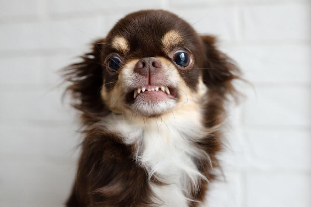 aggressive chihuahua dog snarling and looking angry