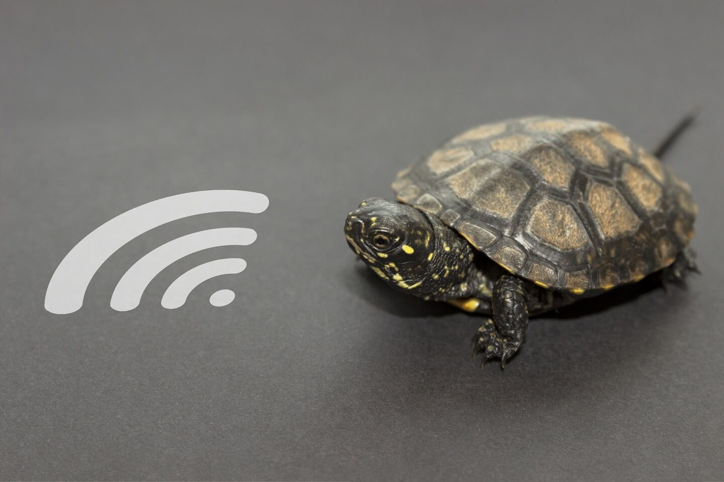 A turtle next to a wifi signal which signifies a slow internet